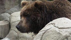 Portret van bruine arctosberingianus van beerursus stock footage