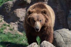 Portret van bruine beer Stock Afbeeldingen