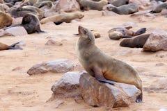 Portret van Bruine bontverbinding - zeeleeuwen in Namibië Royalty-vrije Stock Afbeeldingen