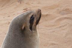 Portret van Bruine bontverbinding - zeeleeuwen in Namibië Royalty-vrije Stock Foto's