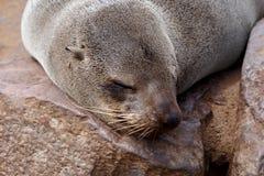 Portret van Bruine bontverbinding - zeeleeuwen in Namibië Stock Fotografie