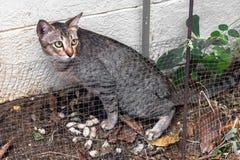 Portret van bruine die eyed gestreepte katkat shit op witte achtergrond wordt geïsoleerd royalty-vrije stock foto