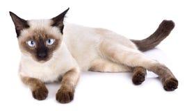 Portret van bruine die kat op witte achtergrond wordt geïsoleerd stock afbeelding