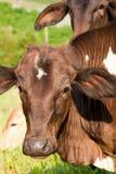Portret van bruine koeien Stock Afbeelding