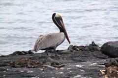Portret van Bruine Pelikaan (de Galapagos, Ecuador) stock foto's