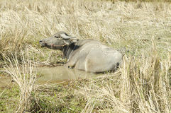 Portret van buffels Royalty-vrije Stock Foto's
