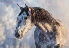 Portret van $c-andalusisch paard met lange manen bij zonsonderganglicht royalty-vrije stock afbeelding