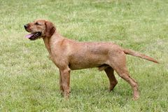 Portret van corse-Haired Styrian-Hond in de tuin royalty-vrije stock fotografie