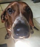 Portret van Daschund-de neus van de hondenhond Stock Foto's