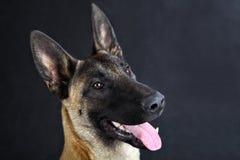 Portret van de de hondstudio van de Malinois het Belgische herder, grijze achtergrond Stock Foto's