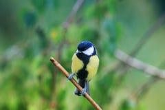 Portret van de een weinig grappige natte zitting van de vogelmees op een takduri royalty-vrije stock foto