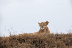 Portret van de grote en verfijnde Leeuw van leeuwinpanthera stock foto's