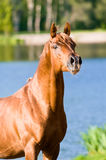 Portret van de het paardhengst van de kastanje het Arabische Stock Fotografie