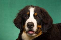 Portret van de Hond van de Berg Bernese Royalty-vrije Stock Afbeeldingen