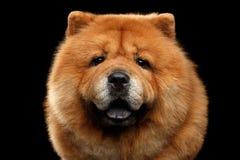 Portret van de hond van de Chow-chow stock fotografie