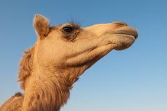 Portret van de kameel op de diepe blauwe hemelachtergrond Stock Afbeelding