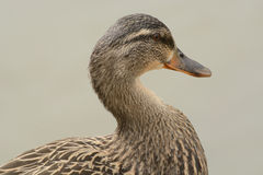 Portret van de kip van de Wilde eendeend Royalty-vrije Stock Fotografie