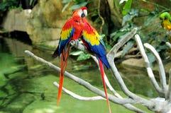 Portret van de kleurrijke papegaai van de paar Scharlaken Ara tegen wildernisachtergrond royalty-vrije stock afbeelding