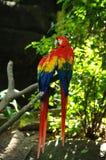 Portret van de kleurrijke papegaai van de paar Scharlaken Ara tegen wildernisachtergrond stock foto