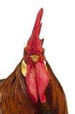 Portret van de Leghorn van de Haan Stock Fotografie