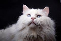 Portret van de oude kat. Royalty-vrije Stock Foto