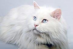 Portret van de oude kat. Stock Foto