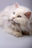 Portret van de oude kat. Royalty-vrije Stock Foto's
