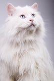 Portret van de oude kat Stock Foto's