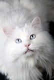 Portret van de oude kat? Royalty-vrije Stock Afbeeldingen