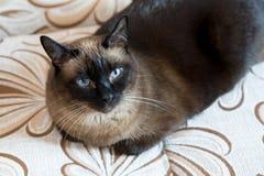 portret van de siamese kat 12 jaar stock fotografie
