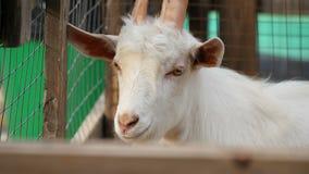 Portret van de snuit van een witte geit met hoge hoornen in de pen Vee, dierentuin stock videobeelden