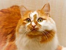 Portret van de tweekleurige rode en witte bevlekte kat stock fotografie