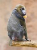 Portret van de volwassen mandril Stock Foto