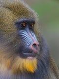 Portret van de volwassen mandril Stock Fotografie