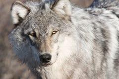 Portret van de Yukon het grijze wolf stock foto