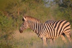 Portret van de zebra van een Burchell in een natuurreservaat in Zuid-Afrika stock foto's
