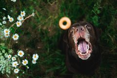 Portret van de zitting van chocoladelabrador op het de zomergebied, natuurlijk licht royalty-vrije stock foto