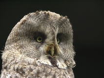 Portret van dichte omhooggaand van de adelaarsuil. Stock Foto's