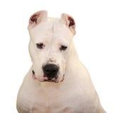 Portret van Dogo Argentino op witte achtergrond wordt geïsoleerd die Royalty-vrije Stock Fotografie