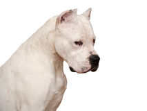 Portret van Dogo Argentino op witte achtergrond wordt geïsoleerd die Royalty-vrije Stock Afbeeldingen