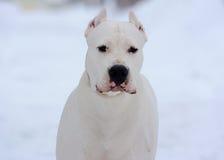 Portret van dogoargentino op wit Royalty-vrije Stock Afbeeldingen