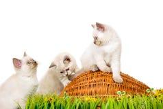 Portret van drie Britse Shorthair-Katjes die, 8 weken oud zitten, Stock Foto