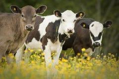 Portret van drie koeien Stock Foto's