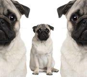 Portret van drie pug honden het zitten Stock Foto's