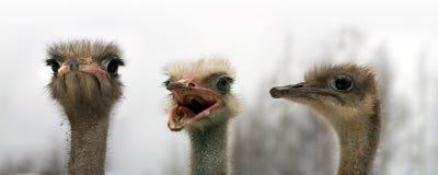 Portret van drie struisvogels Royalty-vrije Stock Afbeeldingen