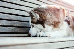 Portret van droevige leuke Siberische Schor hond op een gang De hond verloor zijn eigenaar royalty-vrije stock fotografie