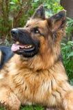 Portret van Duitse herder Stock Foto