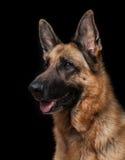 Portret van Duitse herder Royalty-vrije Stock Afbeelding