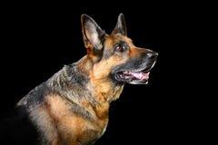 Duitse die herdershond op de zwarte achtergrond wordt geïsoleerd Stock Afbeeldingen