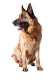 Duitse herder op wit Royalty-vrije Stock Afbeelding